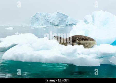 Phoque de Weddell Leptonychotes weddellii, sur iceberg, Neko Harbour, en Antarctique en janvier. Banque D'Images