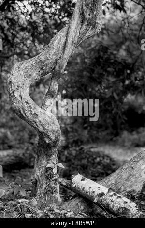 Noir et blanc monochrome de twisted gnarly tree qui ressemble à personne courbée Banque D'Images