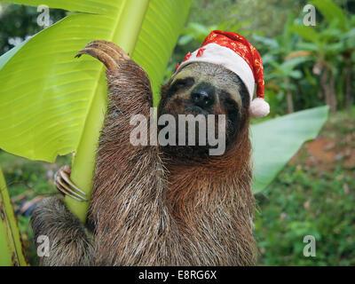 Animaux de Noël, portrait d'un paresseux wearing a santa hat, Costa Rica