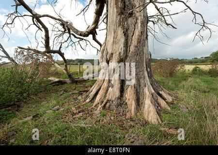 Base de old Dead Horse Chestnut coffre depuis maintenant dépérissement pourriture et infesté d'insectes et de champignons Banque D'Images