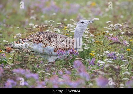Grande outarde (Otis tarda) sur un champ de fleurs sauvages, Hongrie Banque D'Images