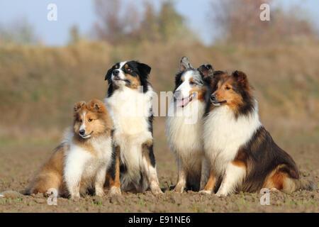 Shetland Sheepdog et Berger Australien Banque D'Images