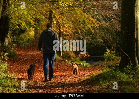Hamsterley Forest, comté de Durham, Royaume-Uni. 18 octobre 2014. Un homme promène son chien dans Hamsterley Forest Banque D'Images
