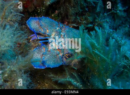Cigale de mer méditerranée, Scyllarides latus, close-up prise lors de Filfla, Malte. Banque D'Images