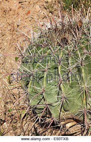 Fishhook Barrel Cactus Ferocactus wislizenii jeune Arizona Banque D'Images