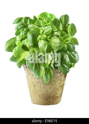 Feuilles de basilic frais dans un vieux pot de grunge utilisé comme assaisonnement, l'assaisonnement et garnir en Banque D'Images