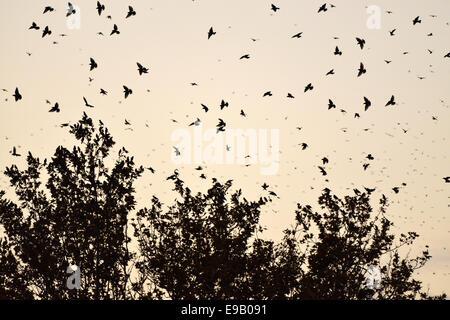 Troupeau d'oiseaux, de l'Étourneau sansonnet (Sturnus vulgaris) à l'égard de leur arbre de couchage, Italie Banque D'Images