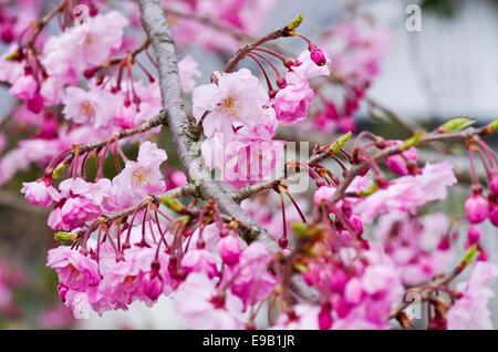 Les fleurs de cerisier au château de Himeji au Japon Banque D'Images