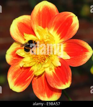 Abeille à miel la collecte du pollen d'une fleur rouge et jaune Dahlia Banque D'Images