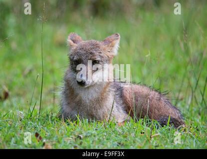 Le Chacal (Canis aureus siamois cruesemanni), une sous-espèce de chacal doré, Huai Kha Khaeng Wildlife Sanctuary, Thaïlande