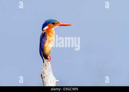 Close-up de vert malachite Kingfisher (Alcedo cristata) perché sur un problème, le lac Kariba, Zambie Banque D'Images
