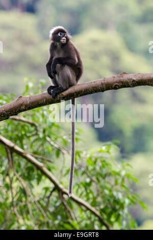Un Dusky leaf monkey (Trachypithecus obscurus), qui est situé dans la forêt vierge Banque D'Images