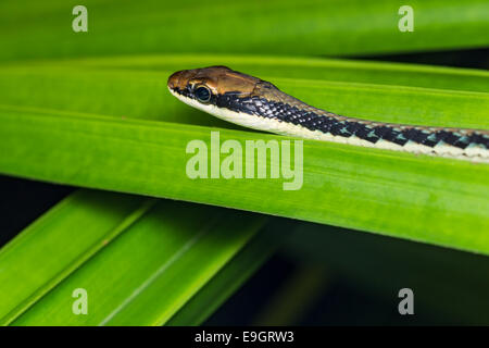 Serpent peint Bronzeback (Dendrelaphis pictus)