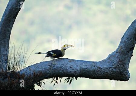 Femelle adulte Grand calao (Buceros bicornis) dans la canopée de la forêt tropicale Banque D'Images