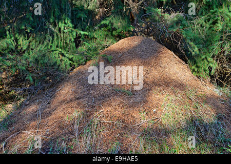 Fourmilière de la Big Red Ant bois (Formica rufa), Tyrol, Autriche