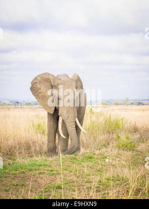 Éléphant mâle sur la savane en Tanzanie, Afrique. Banque D'Images