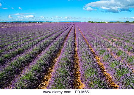 Rangées de lavande pourpre de hauteur de floraison au début de juillet dans la zone sur le Plateau de Valensole, Banque D'Images