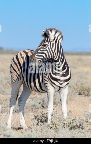 Le zèbre de Burchell (Equus burchellii), adulte debout dans les prairies sèches, Etosha National Park, Namibie, Banque D'Images