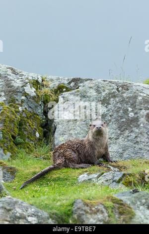 La loutre de mer, Lutra lutra, carnivores mammifères semi-aquatiques, sur la terre sèche par du loch sur l'île de Mull dans les Hébrides intérieures et W