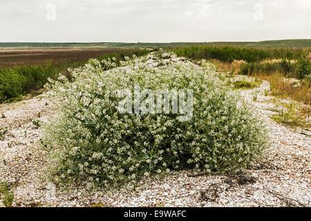 Bush floraison tumbleweed sur la rive du lac à sec la Banque D'Images