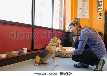 Propriétaire de garderie chien beagle fiving haut in office Banque D'Images