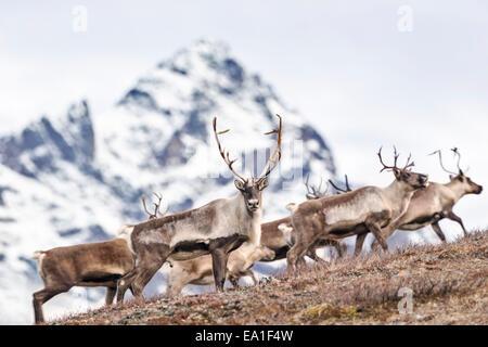 Troupeau de caribous Nelchina traversant la montagne dans l'Alaska. Banque D'Images