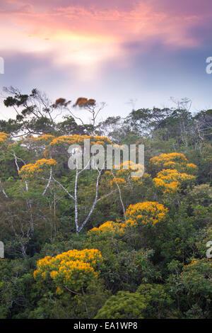 La floraison des arbres peut au coucher du soleil dans le parc national d'Altos de Campana, province de Panama, versant du Pacifique, République du Panama.