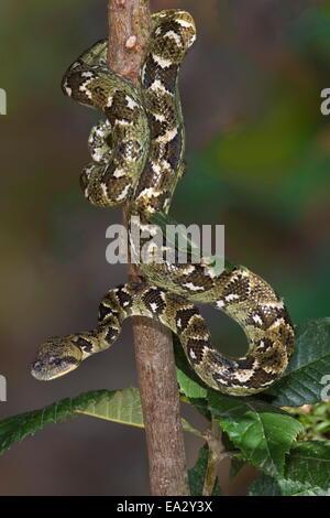 Arbre généalogique Madagascar Sanzinia madagascariensis (BOA), Madagascar, Afrique