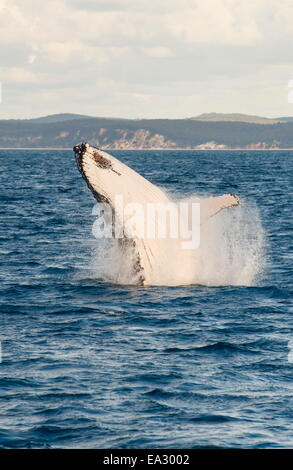 Baleine à bosse (Megaptera novaeangliae) violer, Hervey Bay, Queensland, Australie, Pacifique Banque D'Images