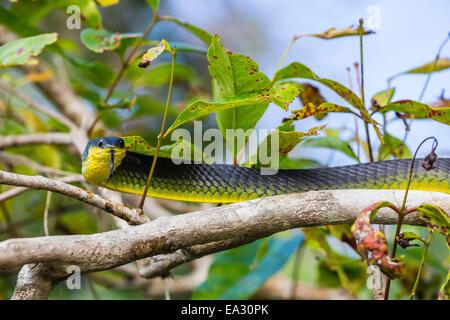 Un serpent australien adultes, sur les rives de la rivière Daintree, la forêt tropicale de Daintree, Queensland, Australie