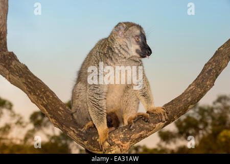 À la façade rouge lémurien Brun (Eulemur rufus), Parc national Parc Mantadia- Andasibe, Madagascar, Afrique Banque D'Images