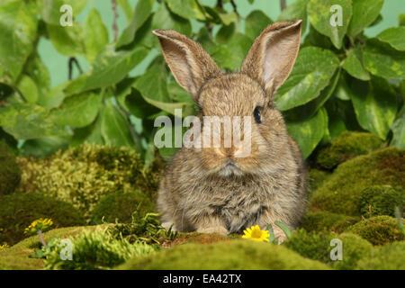 Jeune lapin nain