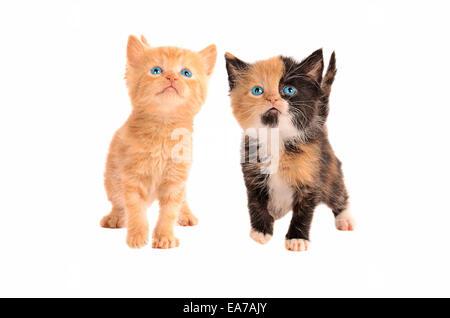 Deux chatons, un calicot et une orange tabby kitten, ensemble sur un fond blanc Banque D'Images