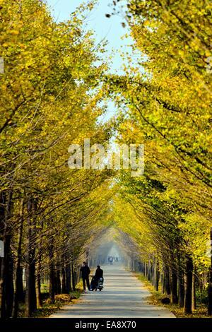 Ji'nan, Chine, la province de Shandong. Nov 9, 2014. Une route avec des arbres de ginkgo est vu dans le comté de Banque D'Images