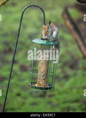 Après un saut de 5 pieds, un écureuil gris obtient sa récompense Banque D'Images