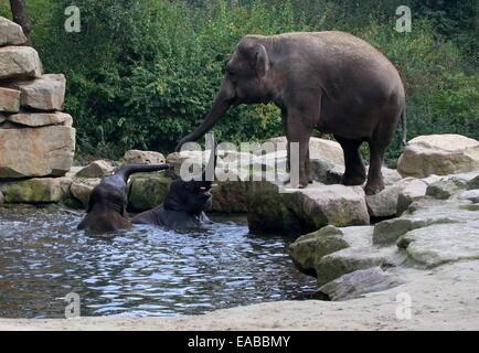 L'éléphant indien féminin (Elephas maximus) balance son tronc en message d'accueil, deux jeunes éléphants asiatiques bull echelle