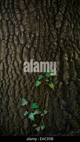 Vigne de lierre grimpant sur l'écorce d'un arbre. Banque D'Images