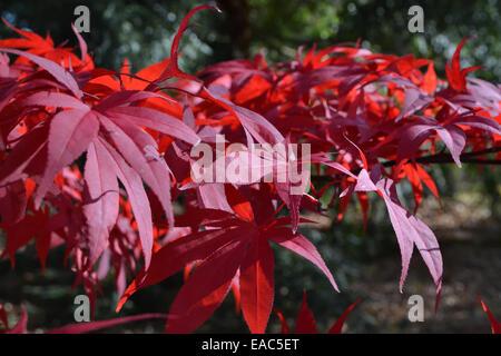 Une étude de l'Acer rouge japonaise des feuilles dans la lumière du soleil d'automne Banque D'Images