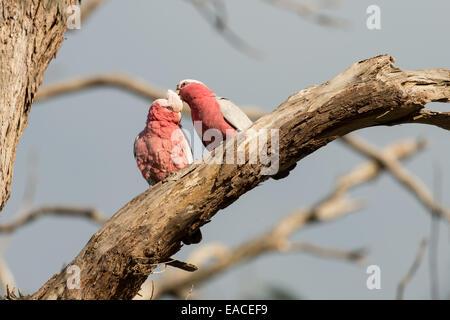 Stock photo d'un oiseau cacatoès rosalbin perché sur une branche.