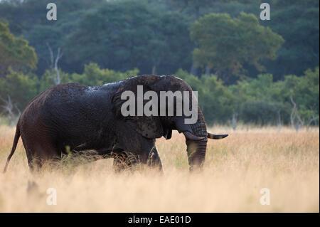 Un grand éléphant mâle