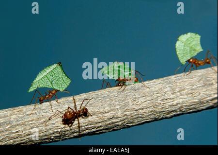 Les fourmis Atta cephalotes osmia lignaria (columbica) transportant des morceaux de feuilles qui ils ont coupé Banque D'Images