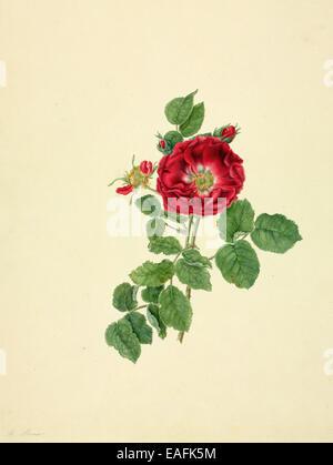 Rosa SP., rose Banque D'Images