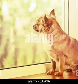 Chien Chihuahua rouge debout sur un rebord de fenêtre et regarde dans la distance. Effet rétro avec filtre. Banque D'Images
