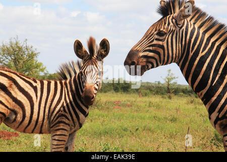 Zebra et son fils Banque D'Images
