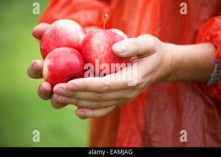 Holding fresh pommes mûres