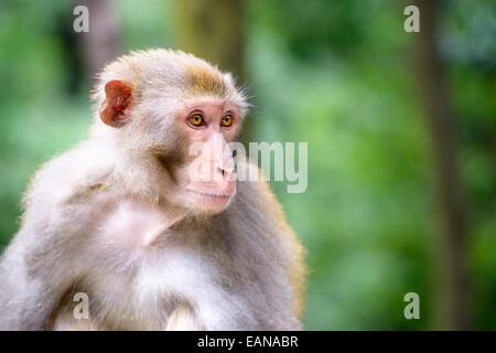 Au Macaque Hill Qianling Park à Guiyang, Chine. Banque D'Images