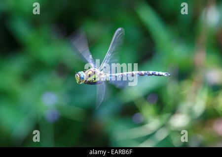 A southern hawker dragon fly en vol Banque D'Images