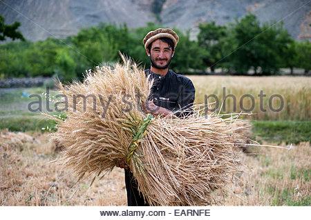 Un agriculteur détient un paquet de blé fraîchement coupé dans la vallée du Panjshir. Banque D'Images