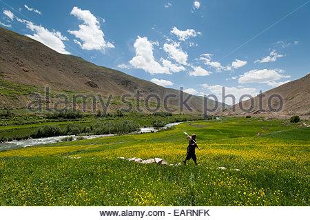 Un agriculteur de promenades à travers un champ de blé mélangée à l'huile de colza. Banque D'Images