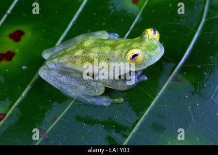 Gros plan d'une grenouille en verre Fleischmann's, Hyalinobatrachium fleischmanni. Banque D'Images